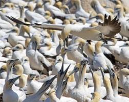 Seabird watching - Cape Gannet