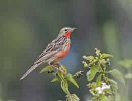 Birding Zimbabwe - Rosy-throated Longclaw