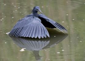 Birding Gauteng - Black Heron